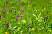 Flower meadow with pink orchids, Werdenfelser Land, Werdenfels, Bavarian Alps, Upper Bavaria, Bavaria, Germany