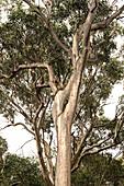 Koala in Otway National Park on the Great Ocean Road in Victoria, Australia.