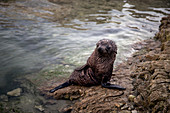 Baby fur seal in Kaikoura in the Kaikoura District, New Zealand