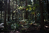 Redwood Forest in Rotorua in the Bay of Plenty, New Zealand.