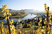 Autumn on the Calmont Klettersteig, the steepest vineyard on the Moselle in Rhineland Palatinate, Germany.
