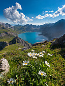 Mountain flowers high above the Lünersee, Brandnertal, Vorarlberg, Austria