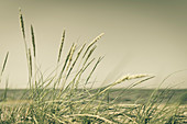Gras on the dunes of the island of Foehr, North Friesland, Germany