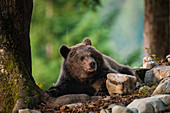 Slovenia, Notranjska, Markovec.\nBrown bear cub relaxes under trees in the forest.