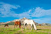 Horses, National Park of Asinara Island,Porto Torres, Sassari province, Sardinia, Italy, Europe.
