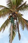 East Africa, Tanzania, Zanzibar, man climbs on a tree to harvest the bananas