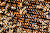 A bees producing honey, a typical product from Non valley, Trentino Italy Europe