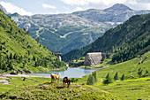 Horses in green meadows around Gleno dam with Monte Ferrante in background, Val di Scalve, Orobie Alps, Bergamo, Lombardy, Italy