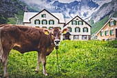 Cow grazing near buildings of Meglisalp, Canton of Appenzell, Alpstein, Switzerland, Europe