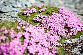 Flowering of Silene Acaulis. Valmalenco, Valtellina, Sondrio province, Lombardy, Italy, Europe.