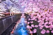 Sakura Blooming on the Meguro River, Tokyo, Japan