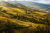 Gelbe Weinberge in Alta Langa, Cossano Belbo, Piemont, Italien