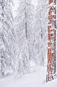 A larix's wood during a winter snowfall. Livigno, Sondrio district, Lombardy, Alps, Italy, Europe.