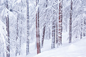 Alpine forest during a winter snowfall. Livigno, Sondrio district, Lombardy, Alps, Italy, Europe.