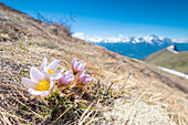 Crocus on the slopes of Becca d Aver, Verrayes, Aosta Valley, Italian alps, Italy