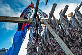 Fisherman place codfish on scaffolding to dried, Lofoten island, Norway