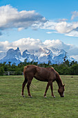 Horse grazing, with Paine Horns and Cerro Paine in the background. Torres del Paine National Park, Ultima Esperanza province, Magallanes region, Chile.