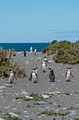 Magellanic penguins coming from the South Atlantic Ocean at Cabo Virgenes Provincial Reserve. Rio Gallegos, Santa Cruz, Argentina.