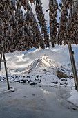 Traditional Norwegian codfish hanging drying in winter, with Olstinden peak in the background. Reine, Nordland county, Northern Norway region, Norway.