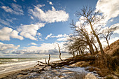 Uprooted tree on the beach, steep coast, Baltic Sea, Ostermade, Ostholstein, Schleswig-Holstein, Germany