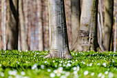 Forest atmosphere with wood anemones in spring