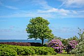 Tree and rhododendron overlooking the Baltic Sea, Kraksdorf, Ostholstein, Schleswig-Holstein, Germany