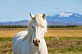 Icelandic horse portrait (Southern Region, Iceland, Europe)