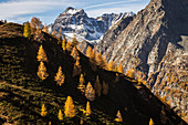 Autumn trees on outline of mountain and Cervandone peak in the background, Alpe Veglia and Alpe Devero Natural Park, Baceno, Verbano Cusio Ossola, Piedimont, Italy, Europe