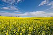 Rape field with the Baltic Sea in the background, Ostholstein, Schleswig-Holstein, Germany