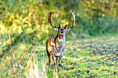 Fallow deer at the edge of the forest, Rellin, Ostholstein, Schleswig-Holstein, Germany