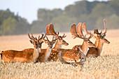 Fallow deer in the bast in the wheat field, Georgshof, Ostholstein, Schleswig-Holstein, Germany