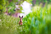 Brown hare on the jump in the grass