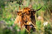 Galloway cattle in Ostholstein, Schleswig-Holstein, Germany