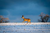 Roebuck at the blue hour on a snow-covered field, Seegalendorf, Ostholstein, Schleswig-Holstein, Germany