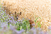 Roe deer, young and female on the flower strip and wheat field, Georgshof, Ostholstein, Schleswig-Holstein, Germany