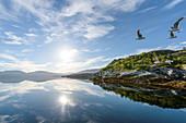 Morgenstimmung mit Möwen im Fjord von Lauvsnes, Tröndelag, Norwegen