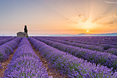 Lavender field around a lonely countryside house near Valensole at sunrise, Alpes-de-Haute-Provence, Provence-Alpes-Côte d'Azur, France.