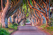 The colors of the sunrise on the branches of The Dark Hedges, Bregagh Road, the iconic trees tunnel. Ballymoney, County Antrim, Ulster region, Northern Ireland, United Kingdom.