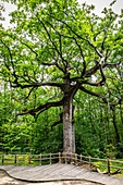 THE OAK OF THE HINDRES, A REMARKABLE TREE SEVERAL HUNDRED YEARS OLD, FOREST OF BROCELIANDE, PAIMPONT (35), BRITTANY, FRANCE