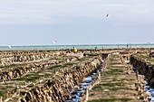 OYSTER BEDS, CANCALE, ILLE-ET-VILAINE (35), FRANCE