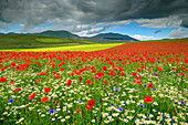 Blooming poppy field with daisies, Castelluccio, Sibillini Mountains, Monti Sibillini, National Park Monti Sibillini, Parco nazionale dei Monti Sibillini, Apennines, Marche, Umbria, Italy