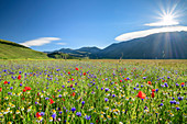 Blooming field with poppies, daisies and cornflowers, Castelluccio, Sibillini Mountains, Monti Sibillini, Monti Sibillini National Park, Parco nazionale dei Monti Sibillini, Apennines, Marche, Umbria, Italy