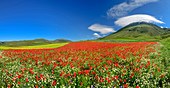 Panorama with blooming poppy and rapeseed field, Castelluccio, Sibillini Mountains, Monti Sibillini, Monti Sibillini National Park, Parco nazionale dei Monti Sibillini, Apennines, Marche, Umbria, Italy