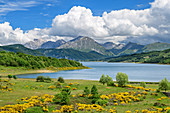 Lago Campotosto with flowering gorse and Gran Sasso in the background, Lago Campotosto, Gran Sasso National Park, Parco nazionale Gran Sasso, Apennines, Abruzzo, Italy