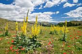 Blooming mullein, Gran Sasso, Gran Sasso National Park, Parco nazionale Gran Sasso, Apennines, Abruzzo, Italy