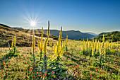 Blühende Königskerzen, Nationalpark Gran Sasso, Parco nazionale Gran Sasso, Apennin, Abruzzen, Italien