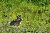 Two rabbits sitting in meadow, Grande Anello dei Sibillini, Sibillini Mountains, Monti Sibillini, National Park Monti Sibillini, Parco nazionale dei Monti Sibillini, Apennines, Marche, Umbria, Italy