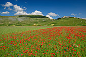 Blooming poppy field with Castelluccio in the background, Castelluccio, Sibillini Mountains, Monti Sibillini, Monti Sibillini National Park, Parco nazionale dei Monti Sibillini, Apennines, Marche, Umbria, Italy