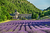 Senanque Monastery with flowering lavender field in the foreground, Notre-Dame de Senanque, Abbaye Senanque, Vaucluse, Provence-Alpes-Cote d´Azur, France