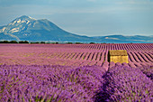 Blooming lavender field with house, in the background Le Grand Marges, Valensole, Verdon Nature Park, Alpes-de-Haute-Provence, Provence-Alpes-Cote d´Azur, France